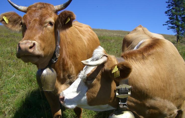 Kühe verletzen zwei Männer schwer