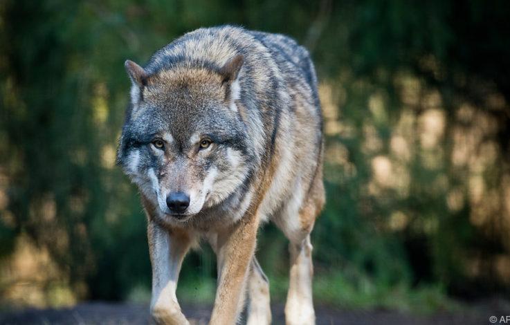 Kastelruth wehrt sich gegen Wolf und Bär