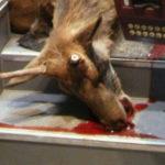 Incidente stradale: cervo investito da un autobus