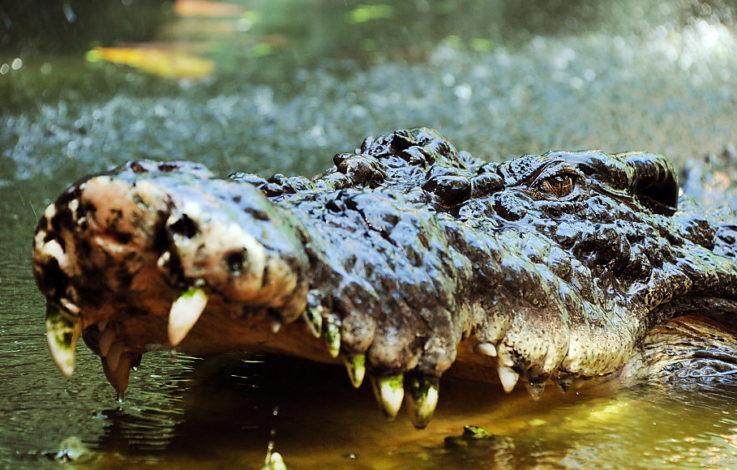 Grausiger Verdacht: Tötete Krokodil vermisste Frau?