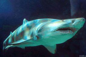 Bissspuren eines Tigerhais wurden entdeckt