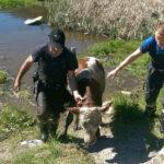 Pustertal: Kalb in letzter Sekunde gerettet