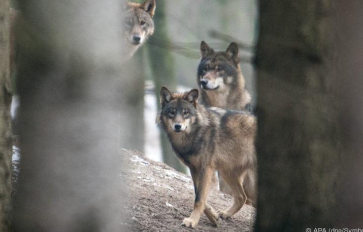 Gemeinderat von Enneberg für wolf- und bärenfreie Gemeinde