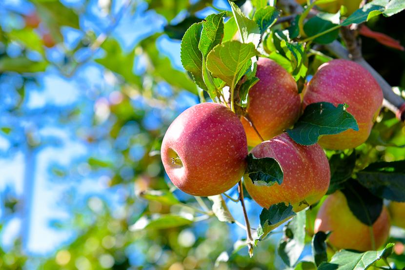 Tödlicher Arbeitsunfall bei Apfelernte