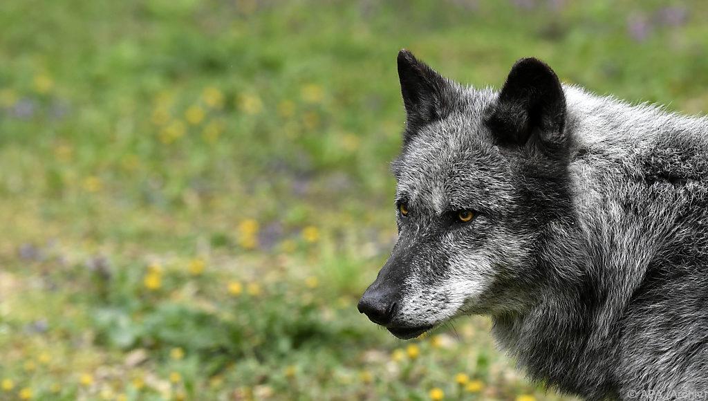 Heuer bereits vier verschiedene Wölfe in Tirol
